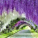Jepang, Taman Wiseria Kawachi Fujien