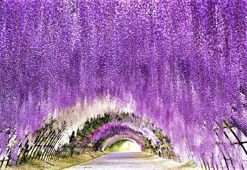 Menikmati Surga Keindahan Taman Bunga Wisteria Kawachi Fujien
